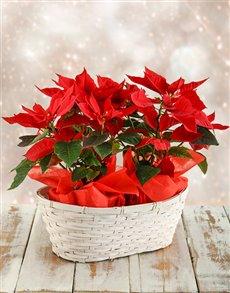 flowers: Double Poinsettia Basket!