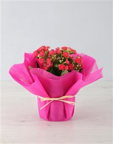 gifts: Colourful Kalanchoe in Tissue Paper!