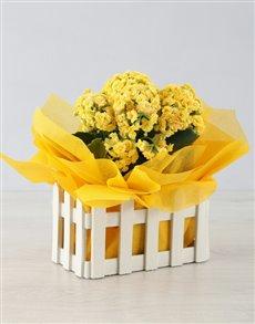 flowers: Kalanchoe Picket Fence!
