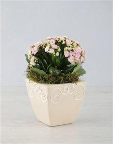 flowers: Kalanchoe In Ceramic Pot!