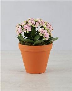gifts: Kalanchoe Pot Plant!