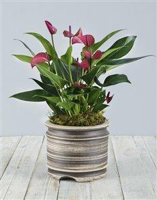 flowers: Anthurium Plant in Pot!