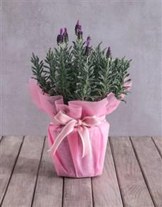 flowers: Pink Lavender Display!