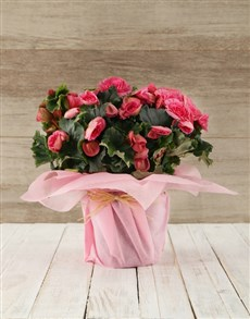 plants: Begonia Plant in Tissue Paper!