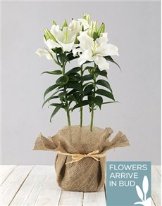 flowers: Casablanca Lily in Hessian!