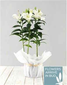 flowers: Casablanca Lily in white paper!