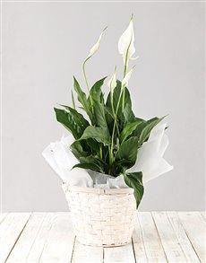 flowers: Spathiphyllum Planter!