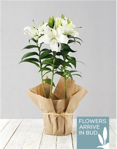 flowers: Casablanca Lily Plant in Brown Paper!