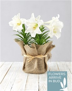 flowers: St Joseph Lily Plant in Hessian!
