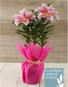 flowers: Roselily Plant in Tissue Wrap!