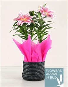 flowers: Rose Lilly Plant in Black Hatbox!