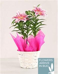 flowers: Rose liliy Plant in a basket!