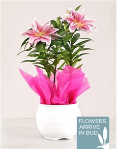 flowers: Roselily Plant in White Pottery!