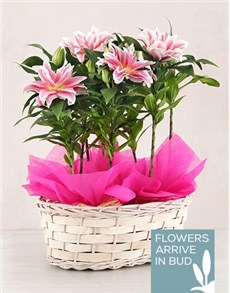 flowers: Triple Roselily Plant Basket!