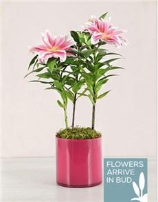 flowers: Roselily Plant in Pink Cylinder Vase!