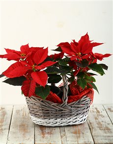 gifts: Poinsettia in Two Toned Basket!