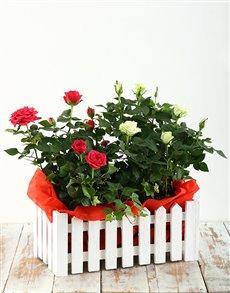 flowers: Rose Bush Picket Fence!
