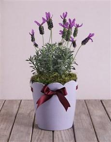 flowers: Purple Lavandula Pot!