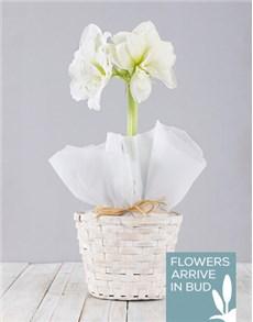 flowers: White Amaryllis Basket!