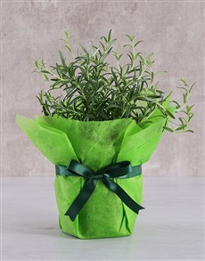 flowers: Rosemary Plant in Tissue Paper!
