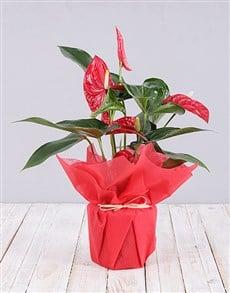 flowers: Anthurium Plant !