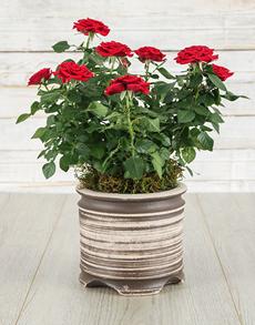 plants: Red Roses Bush in a Ceramic Pot!