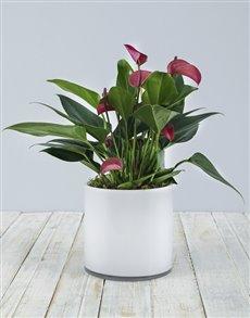 plants: Anthurium in White Cylinder Vase!
