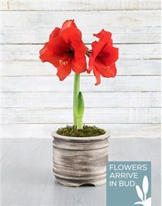 flowers: Red Amaryllis Pot!