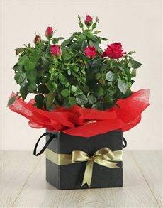 plants: Lady Rose!