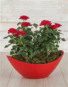 flowers: Red Rose Bush in Red Boat Vase!