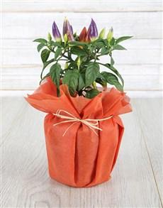 plants: What a Hottie Chilli Plant !