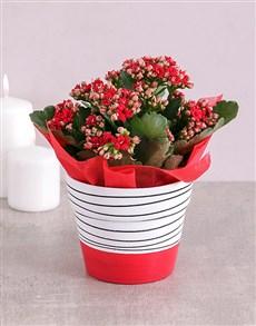 flowers: Kalanchoe Plant in Hand Drawn Black Stripe Pot!