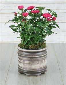 plants: Cerise Rose Bush in Ceramic Pot!