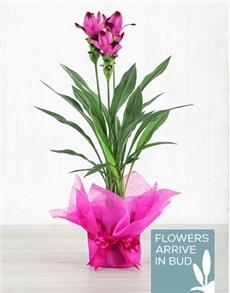 flowers: Purple Curcuma Plant in Tissue Paper!