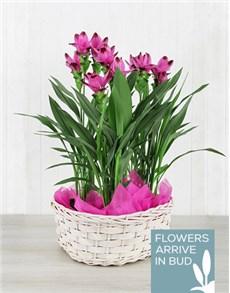 flowers: Triple Purple Curcuma Plant Basket!