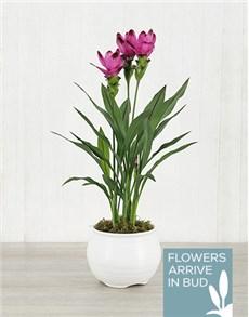 flowers: Purple Curcuma Plant in White Pottery!