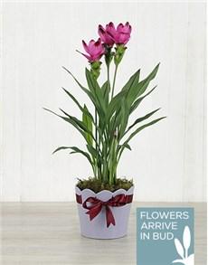 flowers: Purple Curcuma Plant in Purple Ribbon Planter!