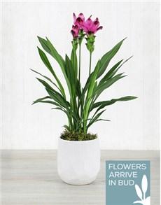 flowers: Purple Curcuma Plant in White Ceramic Bowl!