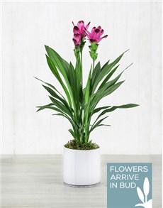 flowers: Purple Curcuma Plant in White Cylinder Vase!