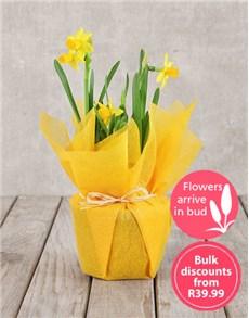 flowers: Daffodil Plant in Tissue Paper in Bulk!