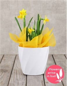flowers: Daffodil Plant in White Pot!