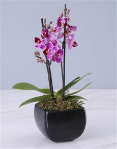 plants: Mini Orchid in a Glazed Vase!