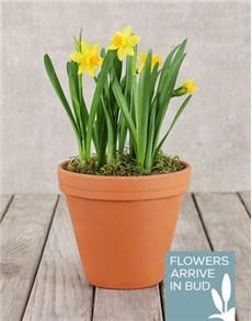 flowers: Daffodil Plant in Pot!
