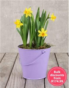 flowers: Daffodil Plant in Purple Bucket in Bulk!
