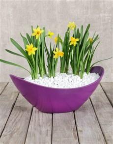 flowers: Daffodil Plant in Purple Boat Vase!