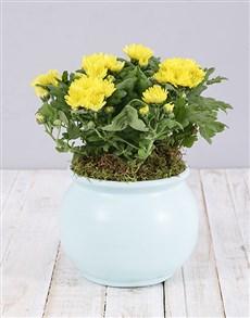 gifts: Yellow Chrysanthemum Plant in Blue Pot!