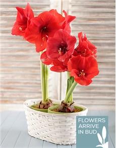 flowers: Amaryllis Plant Duo!