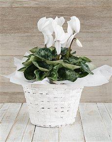flowers: White Cyclamen in a Chrysanth Basket!