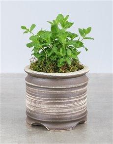 plants: Mint Herbs in Ceramic Pot!