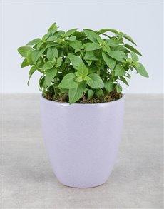 plants: Basil Herbs in Glazed Pot!